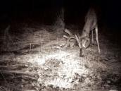 deerd