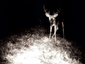 deeri