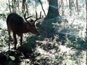 deert